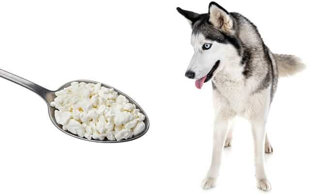Cottage-cheese-siberian-husky