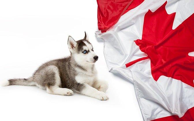 Huskies in Canada