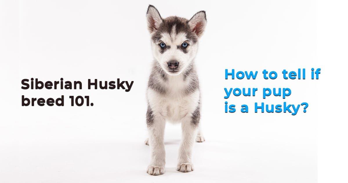 Dog Is A Siberian Husky