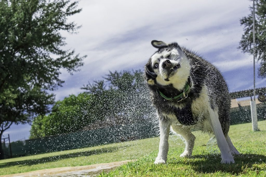 bathe your siberian husky at home