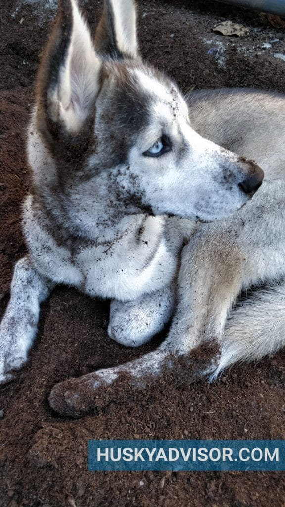 dirty siberian husky