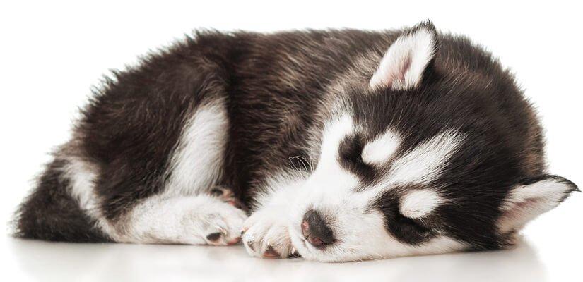 sleeping siberian husky