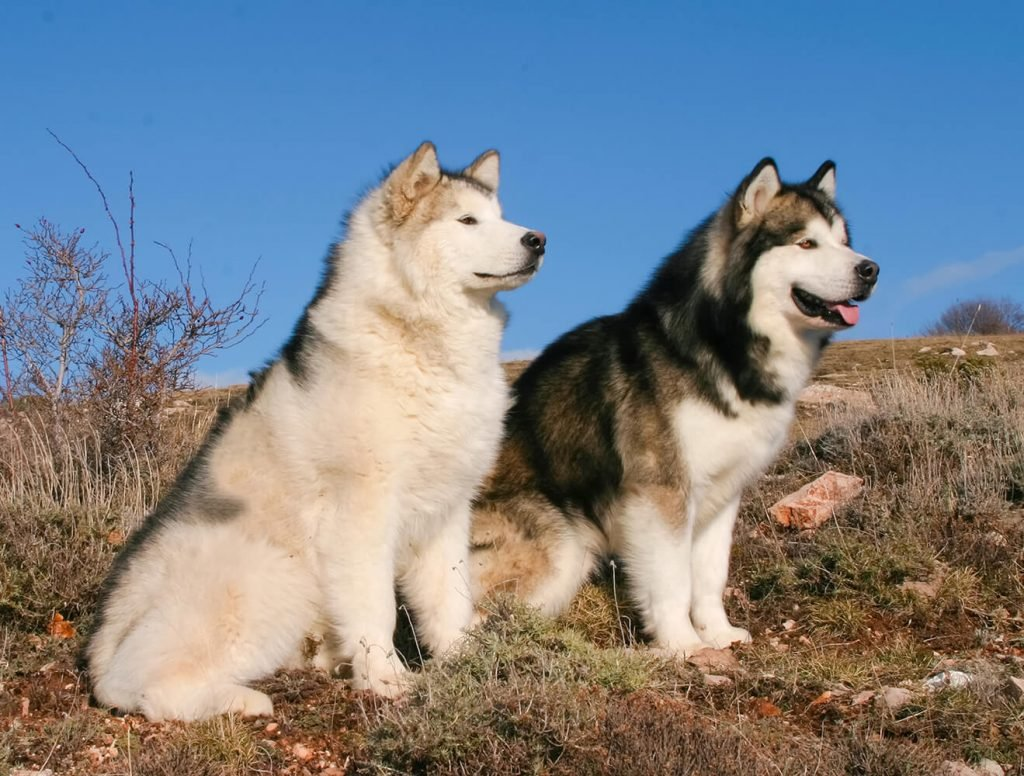Two fully-grown Malamutes