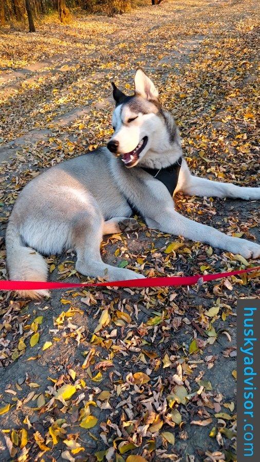 best food to feed siberian husky