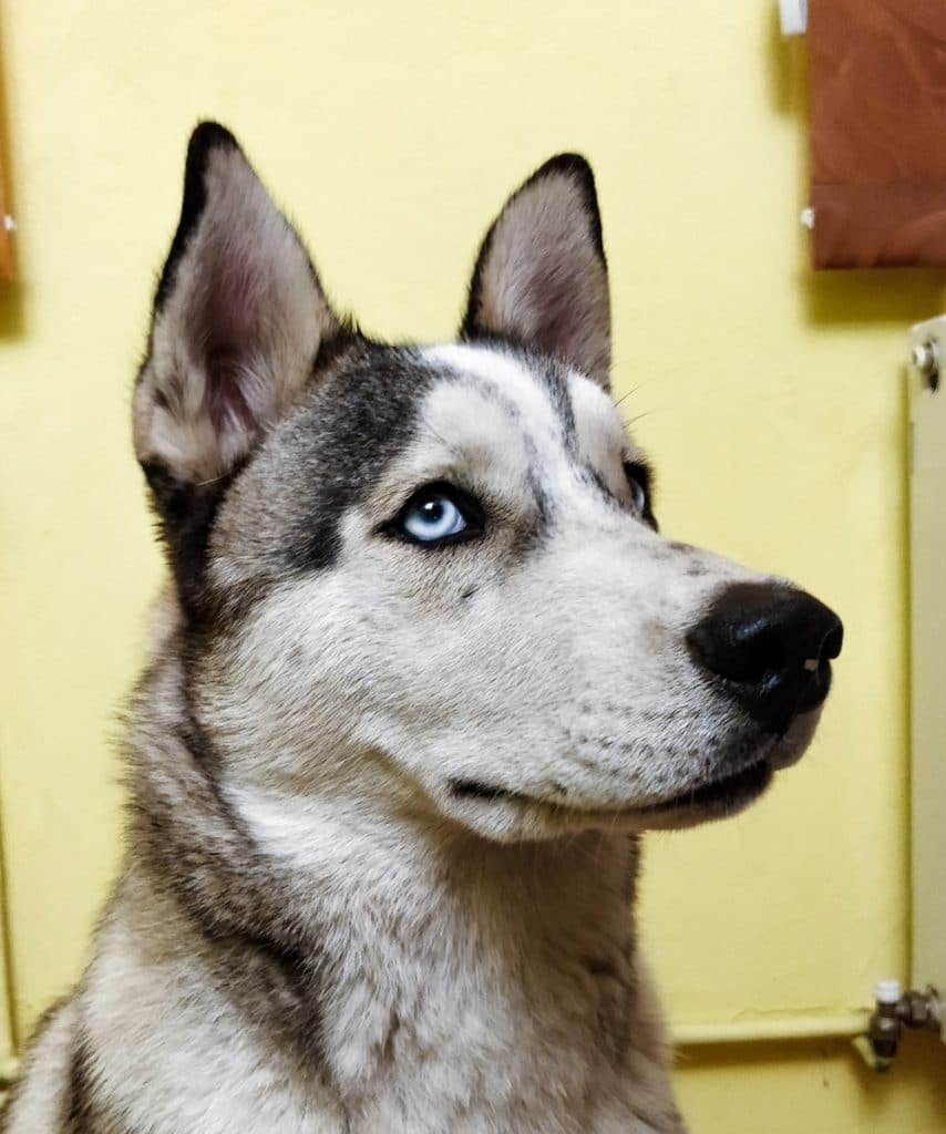 loki blue eyes siberian husky