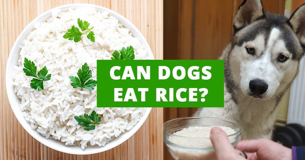 Can dogs eat rice? - Husky Advisor