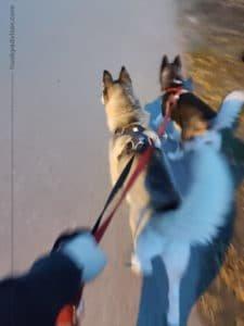 Daily morning walk siberian huskies
