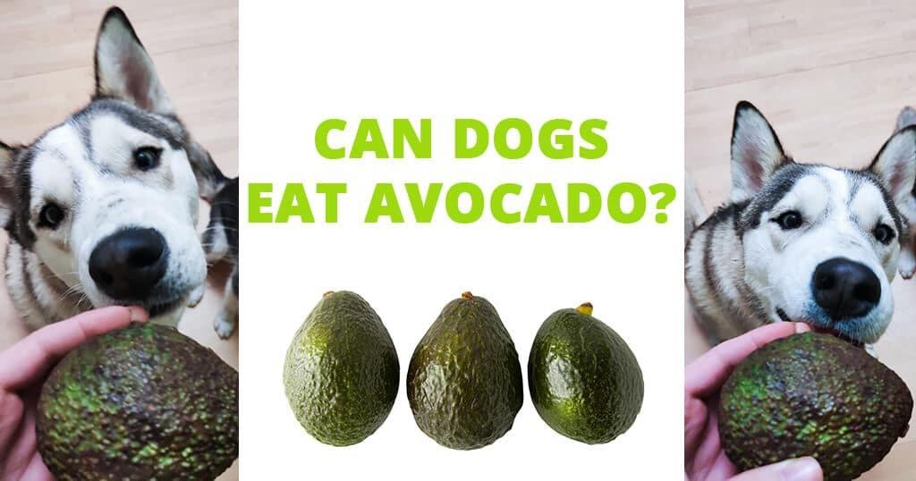 Can dogs eat avocado? - Husky Advisor