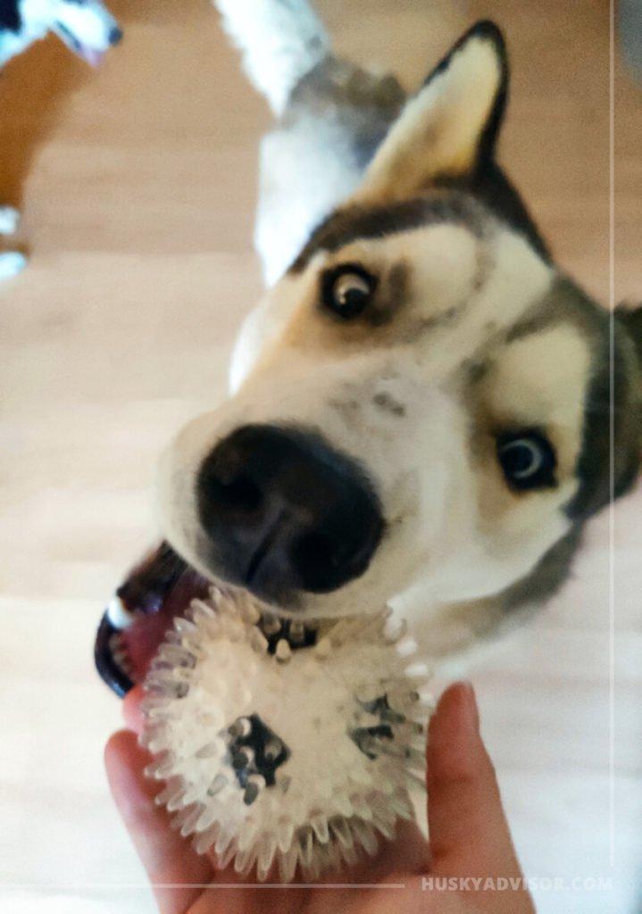 Why Siberian huskies like balls so much
