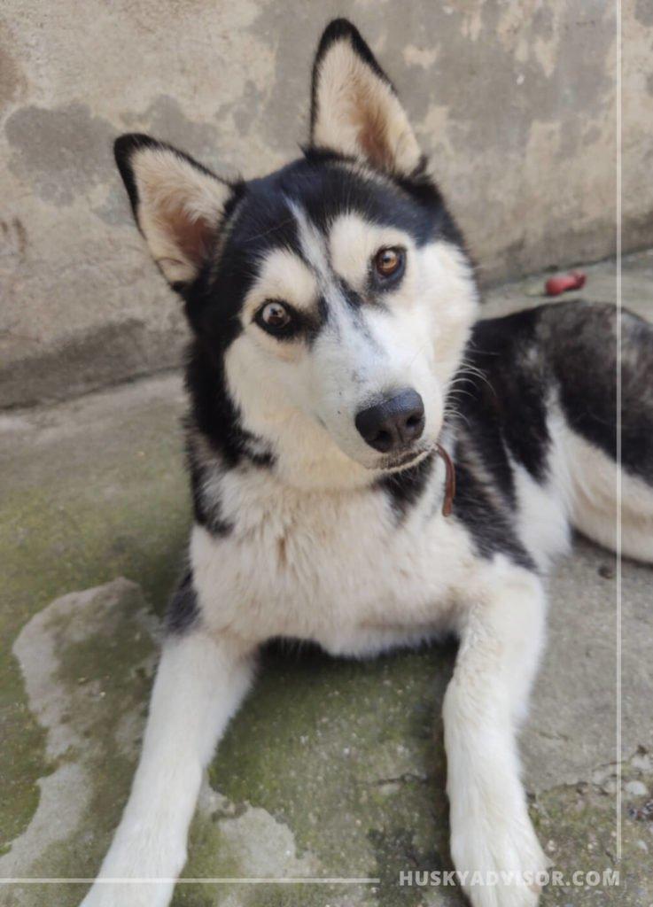 Siberian husky tilt his head dog behavior